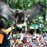 A European white-tailed sea eagle soars low over the crowd