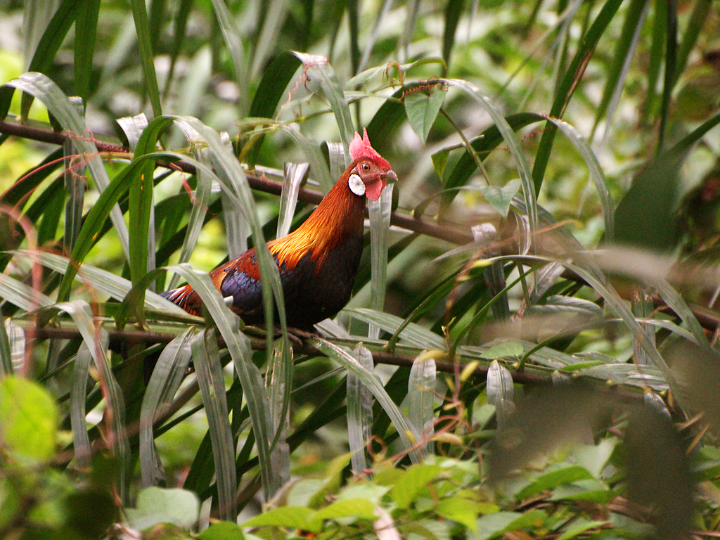 Red Jungle Fowl Behaviour Related Keywords amp; Suggestions  Red Jungle
